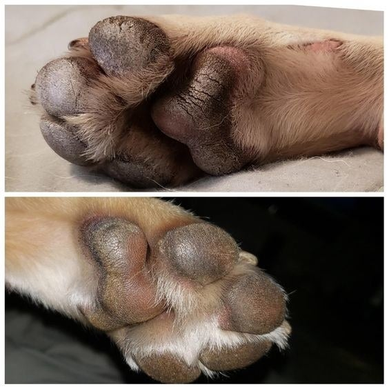 Reviewer's before-and-after picture of dog's paws with infection and then almost completely healed