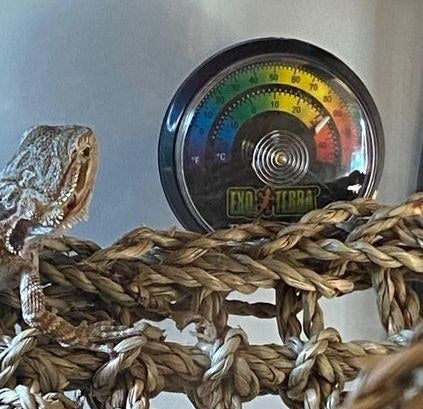 Reviewer's lizard in front of the thermometer