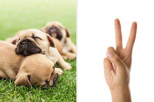 On the left, three French bulldog puppies sleep on the grass, and on the right, someone holds up two fingers