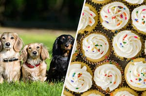 A line of dogs are on the left with a tray of vanilla cupcakes on the right