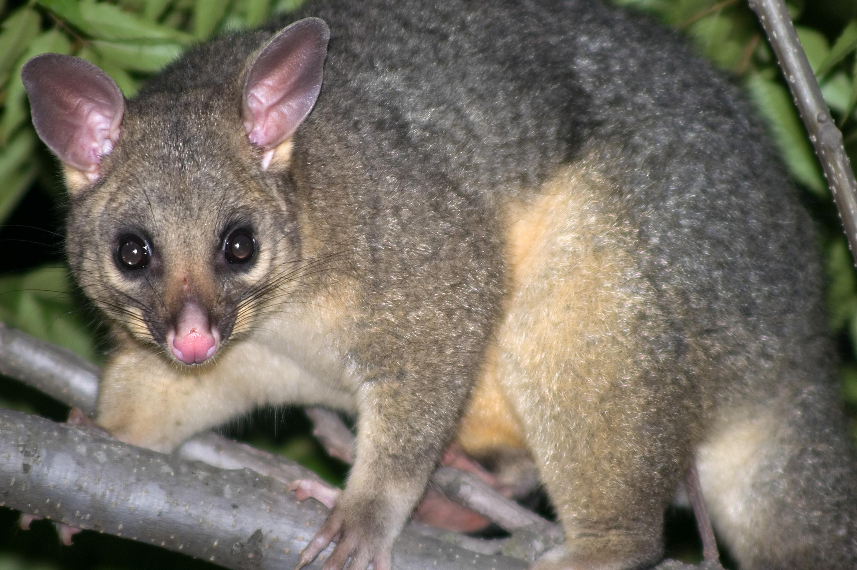 An Australian bush possum holding onto a tree branch