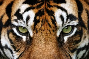 A tiger staring at you intensely