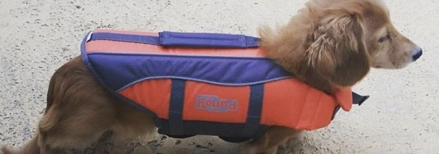 dachshund dog in a life vest