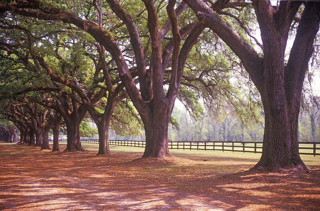 Tree-lined alley at Boone Hall