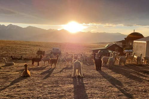 A pack of alpacas graze under the sunset at Tenacious Ranch in Colorado.