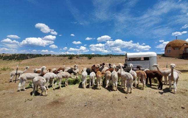 A pack of alpacas are photographed at Tenacious Ranch.