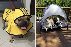 Side by side of Frenchie in a yellow rain jacket with a hood and two huskies sharing a dog bed with a canopy outside