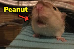 A rat with an arrow pointing to him that says Peanut