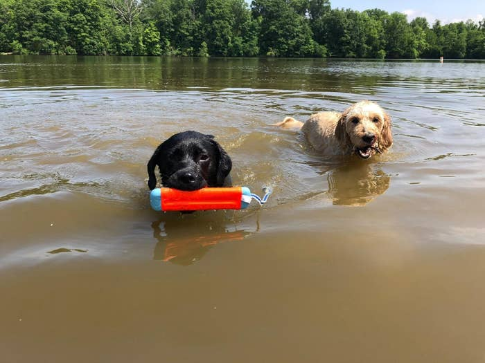 Reviewer photo of their dog holding the toy in its mouth in the water