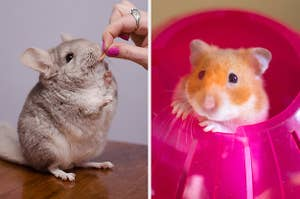 On the left, someone feeds a chinchilla a little snack, and on the right, a hamster peeks its head out of a hamster ball