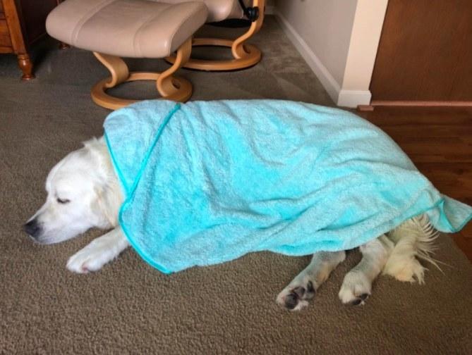 Dog snuggled under the towel
