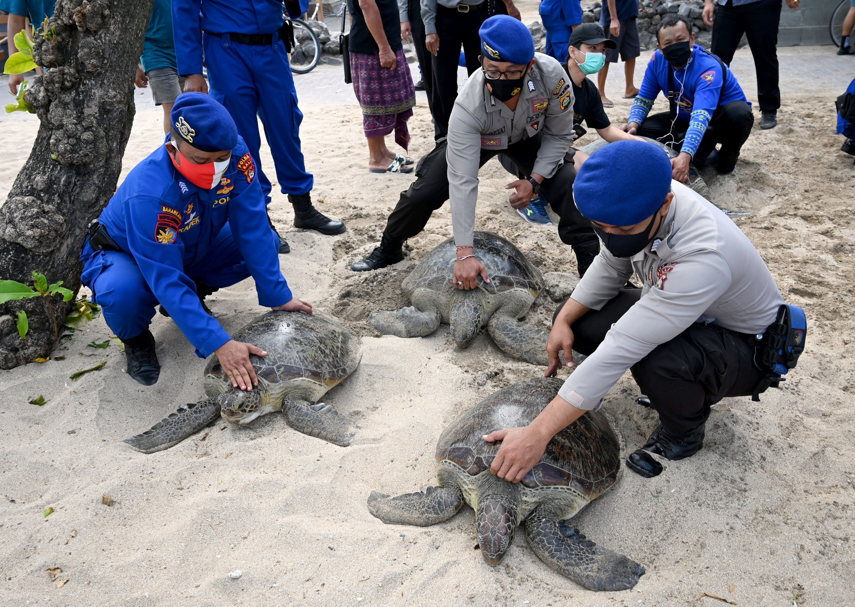 Men in uniforms and face masks place their hands on the shells of three large sea turtles on the beach