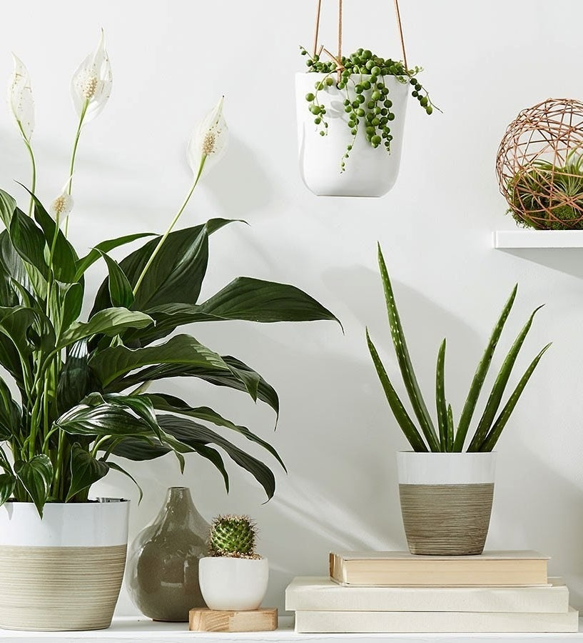 Different potted plants, like peace lilies, aloe, string of pearls, and succulents, staged on a desk