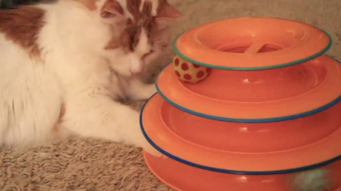 A white and orange long-haired cat pawing at the three-tier track toy with moving balls