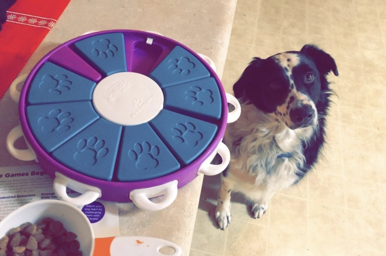 Border collie sitting and staring that the camera next to a blue and purple interactive treat-dispensing toy