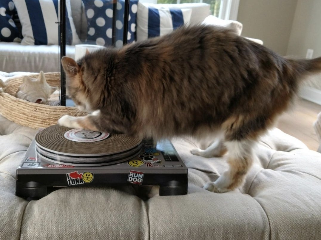 Cat scratching the cardboard turntable