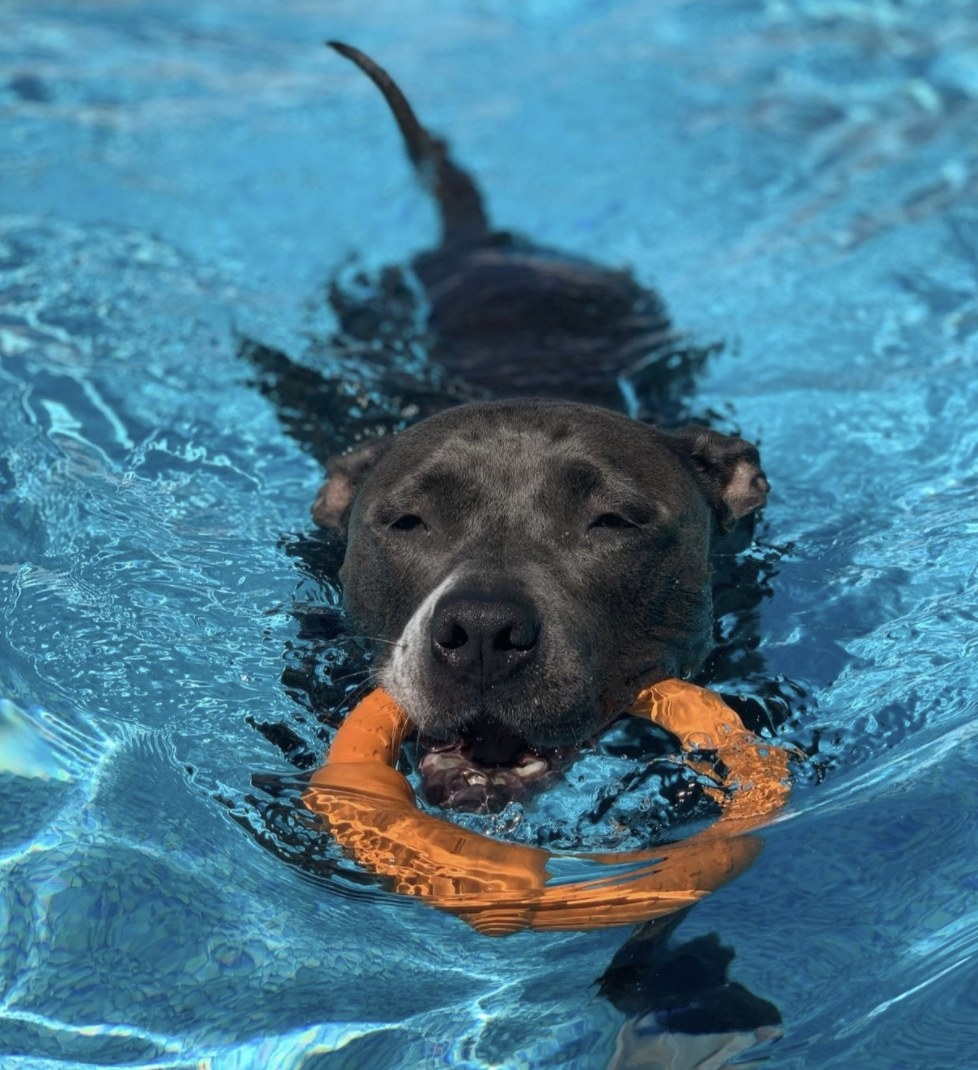 Black dog swimming in a pool with the frisbee ring in its mouth