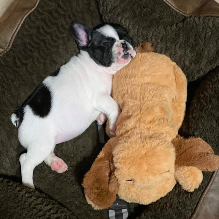 reviewer photo showing a small puppy cuddling with its SmartPetLove snuggle puppy