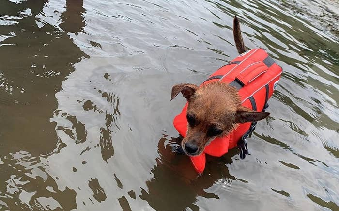 Chihuahua wearing bright orange life vest in water