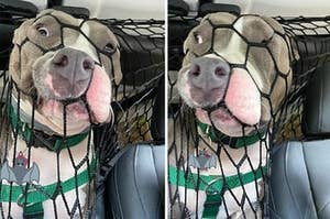 Pit Bull pushing their face through a net in the back of a car