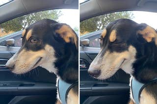 Dog in the front seat of a car winking