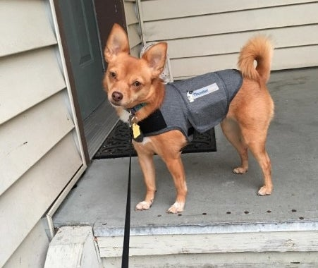 Chihuahua wearing a thundervest