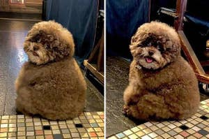 An extremely round and fluffy little dog