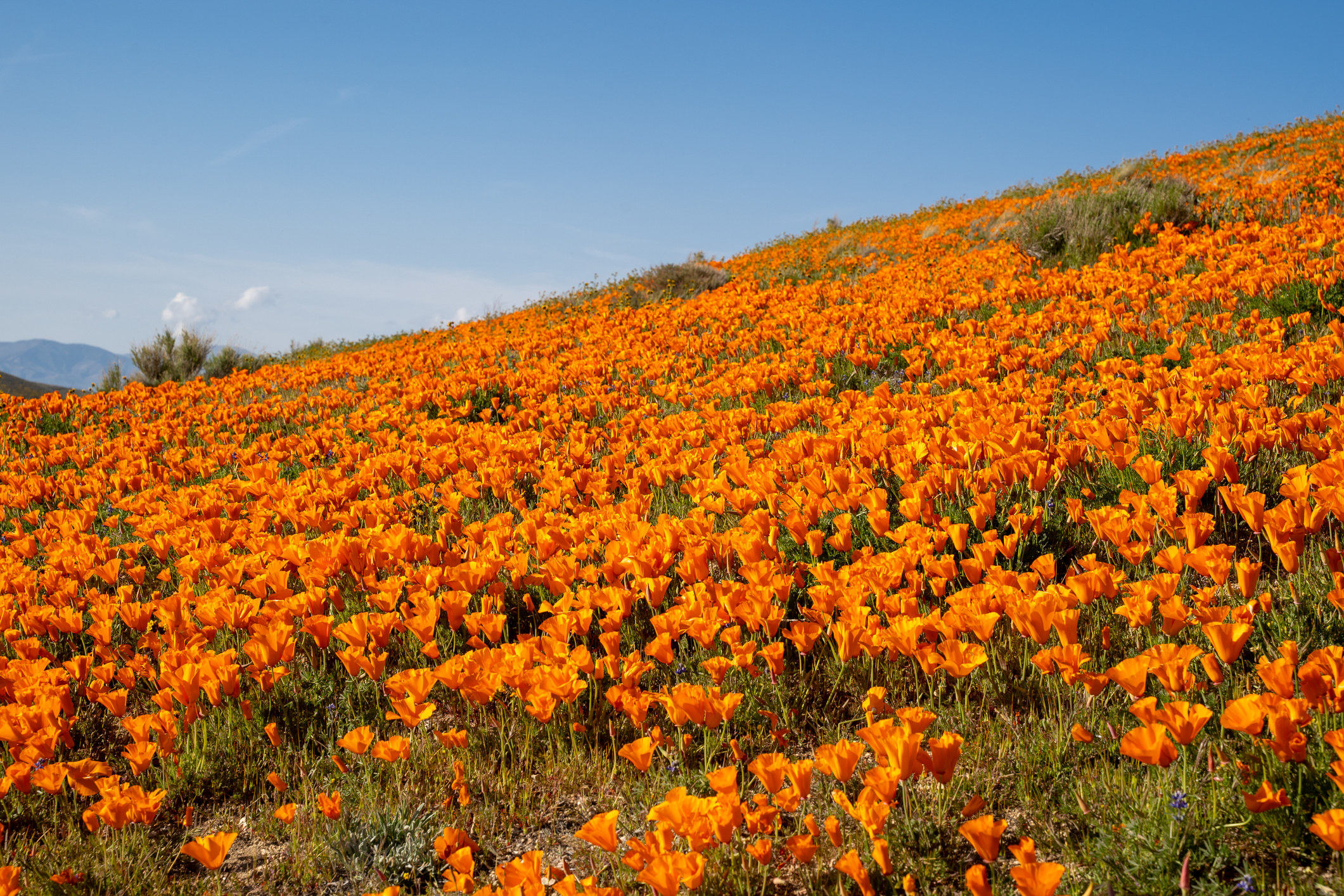 A vibrant field of poppies.