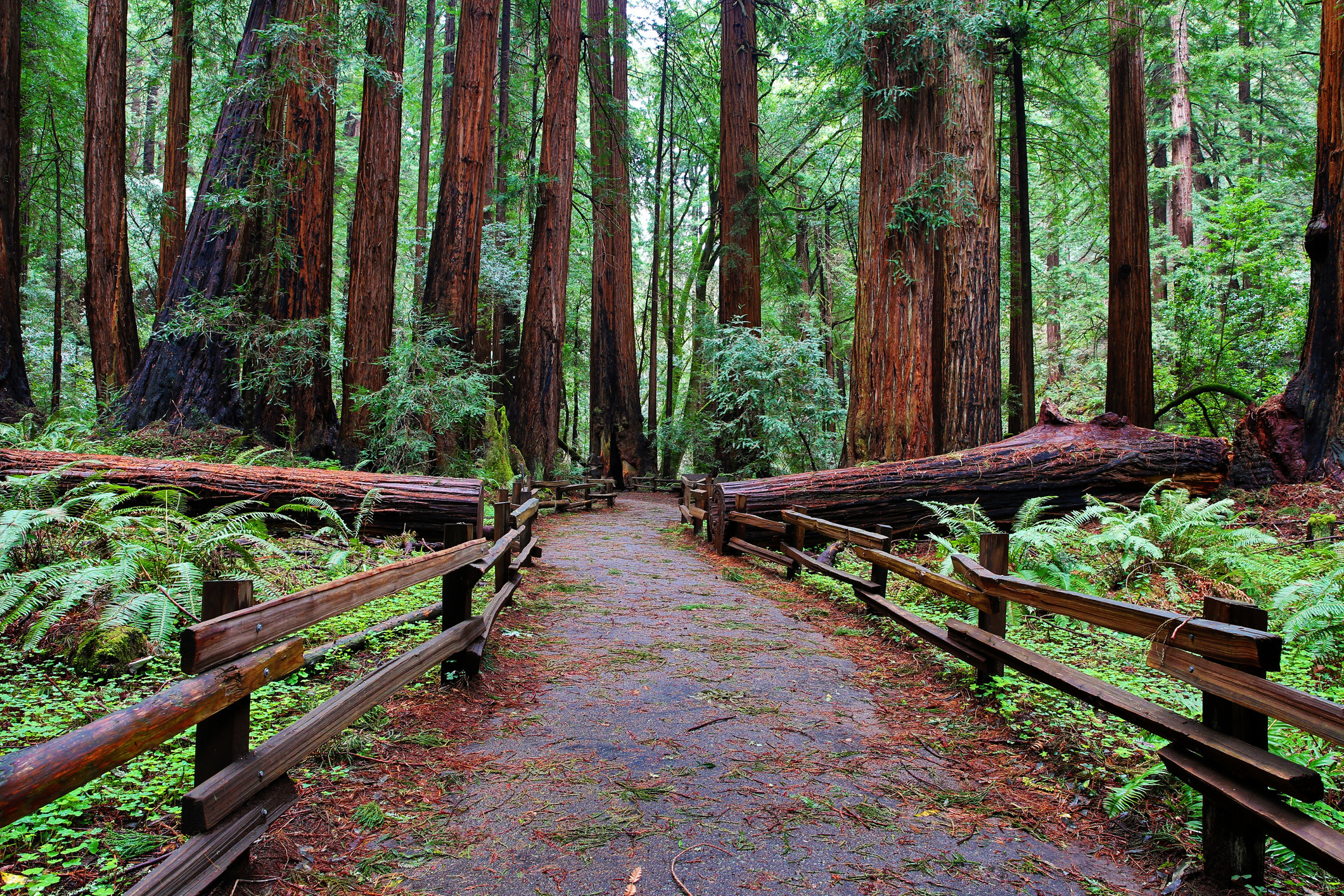 A walkway surrounded by towering redwood trees.