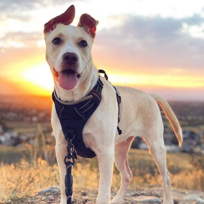 dog wearing black harness with leash