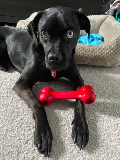 dog with a kong toy on their paws