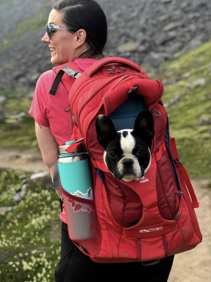 A french bulldog sits in a red dog carrier backpack during a hike