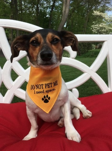 "Chiweenie wearing ""do not pet me"" bandana"