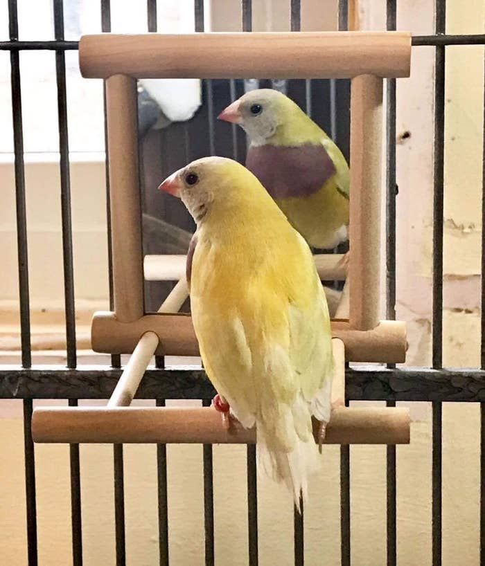 A yellow finch sits perched in front of a small mirror in a cage