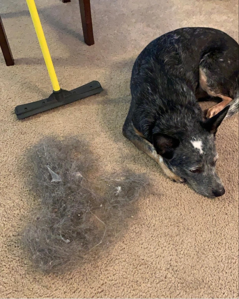 reviewer's dog next to a pile of fur that was removed by the broom