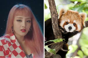 An image of Miyeon next to an image of a red panda
