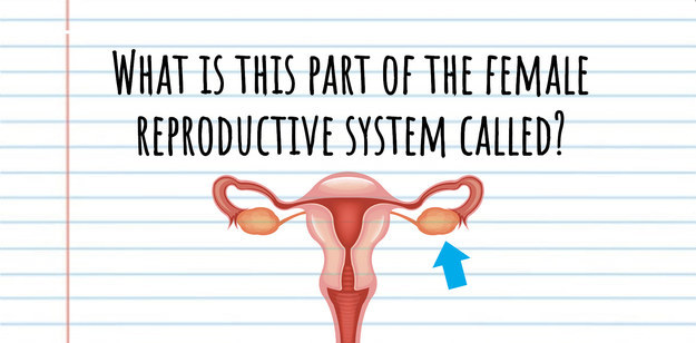 What is this part of the female reproductive system called? An arrow points to the reproductive organ that produces eggs.