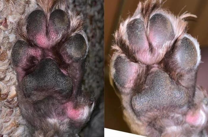 On the left, an irritated and red paw, and on the right, the same paw looking less red and irritated