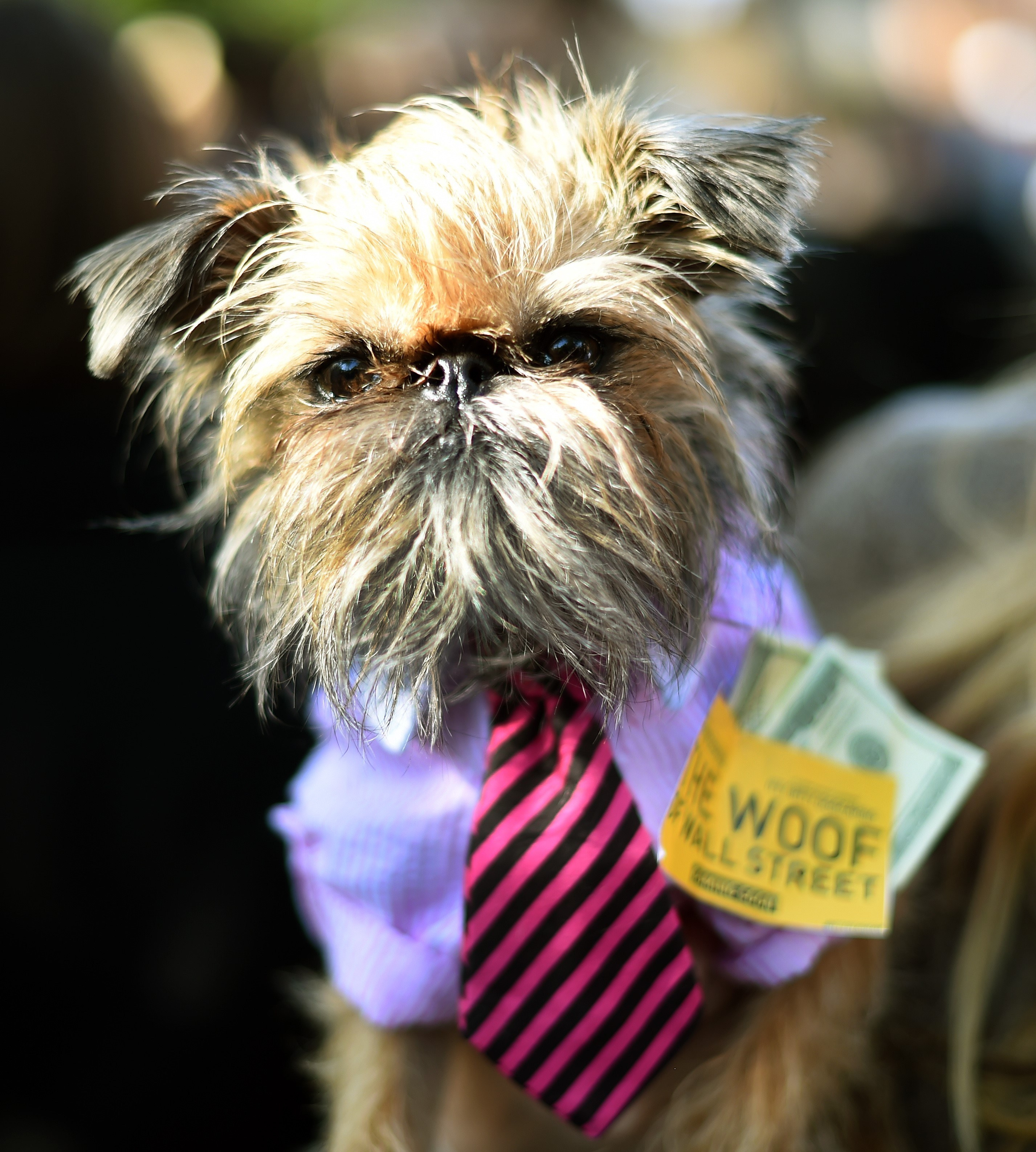 "small dog dressed as a character from the movie ""wolf of wall street"""