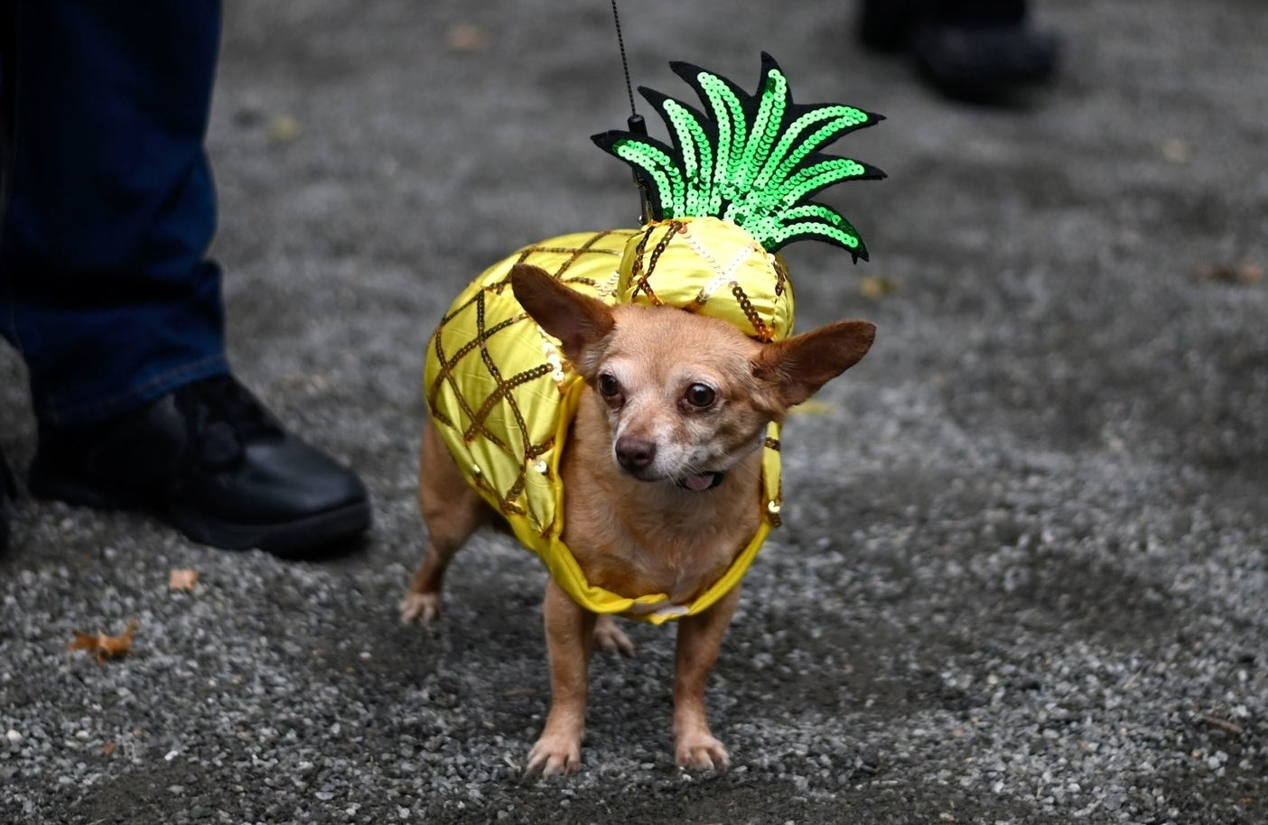 chihuahua dressed as a pineapple with a pineapple sweater