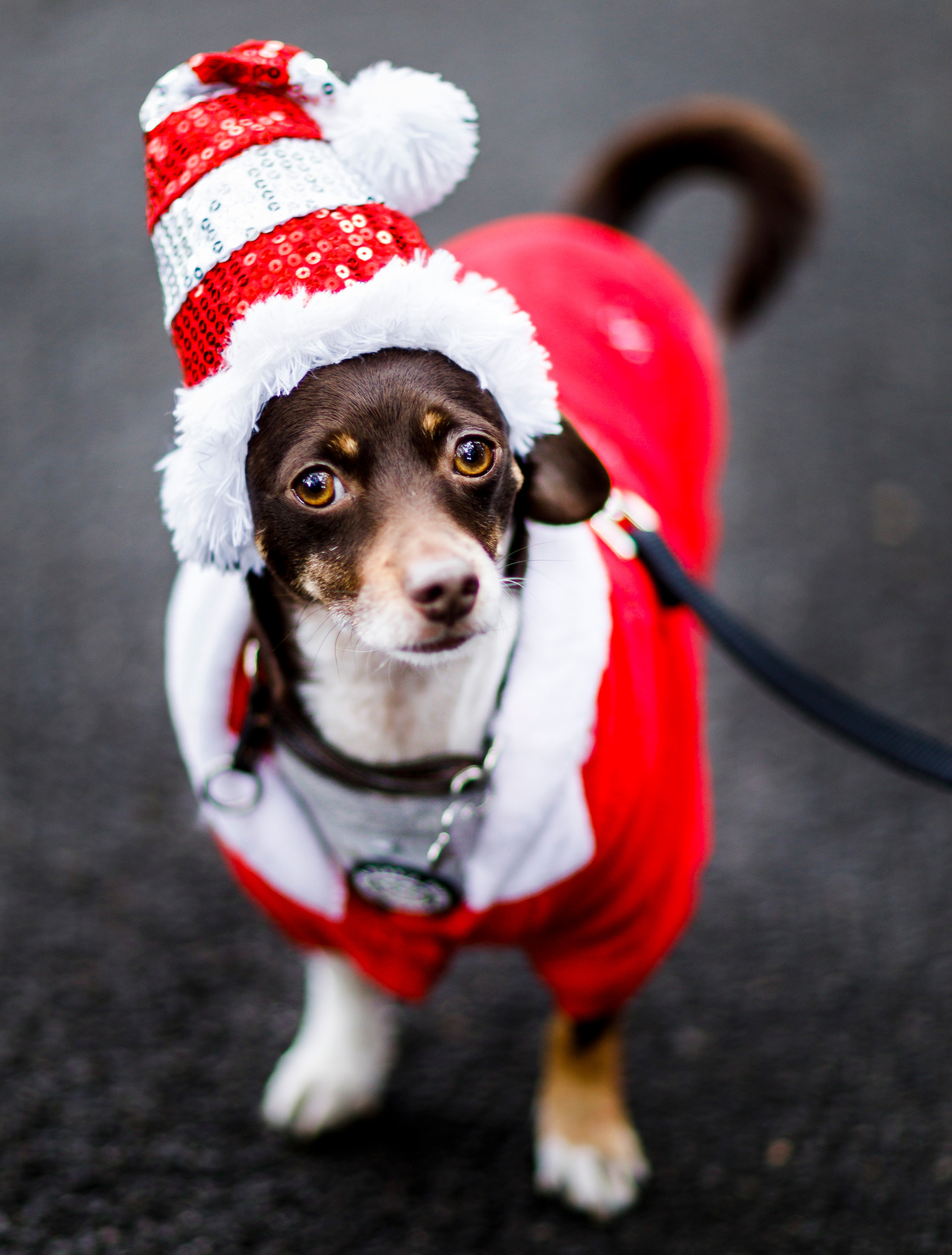 small dog dressed as santa clause for halloween