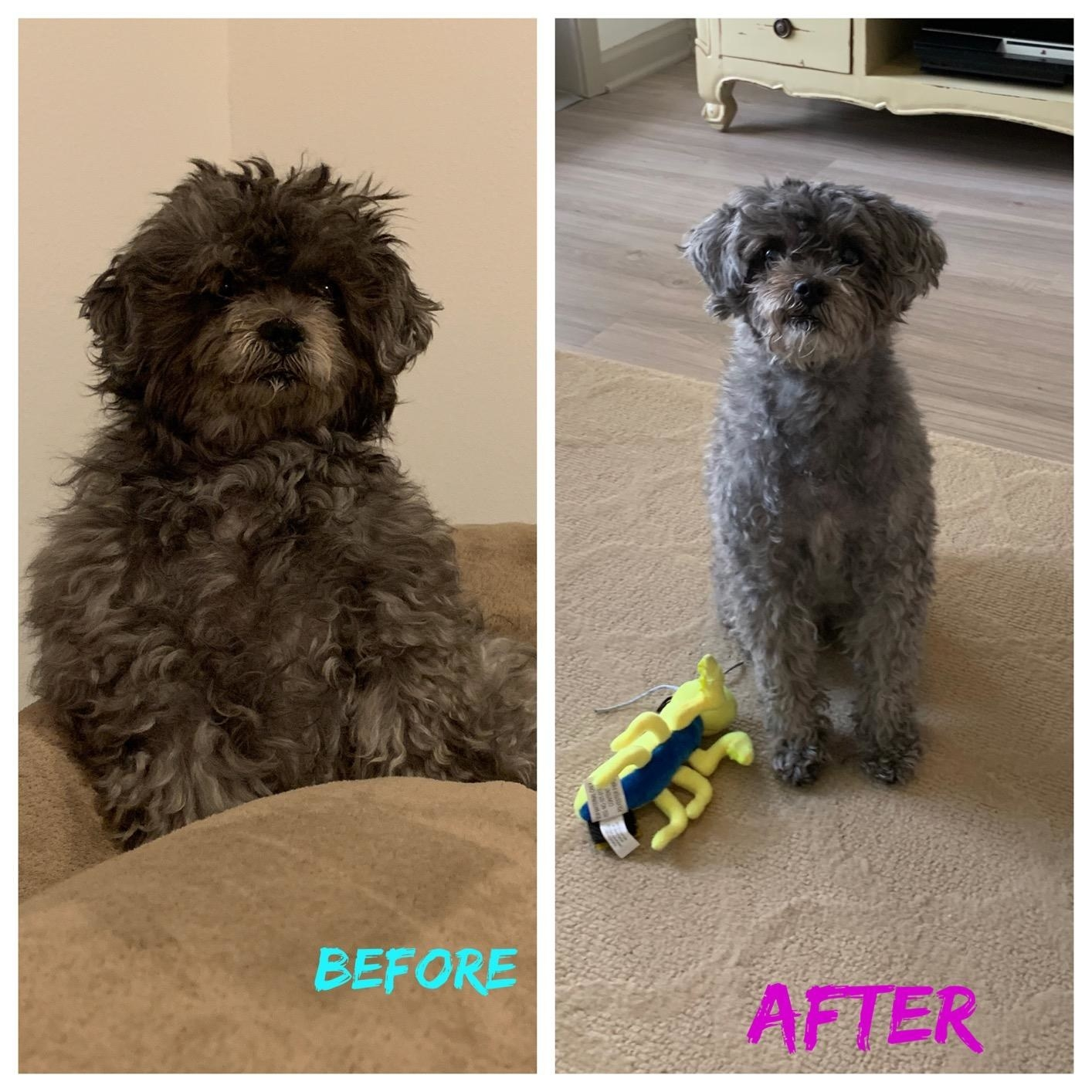 Before photo of reviewer's dog with knotted, messy fur and after photo of the same dog looking neatly trimmed