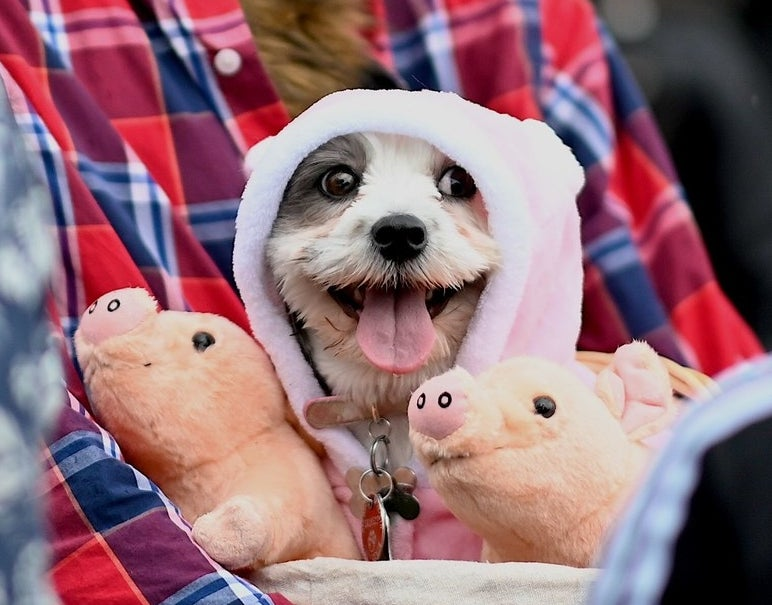 happy dog dressed as a small pig with a regular pink sweater near stuffed animals of pigs
