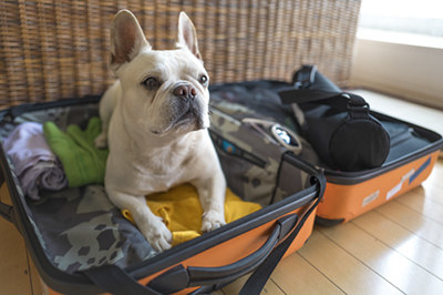 A pug playfully sitting on top of a suitcase.