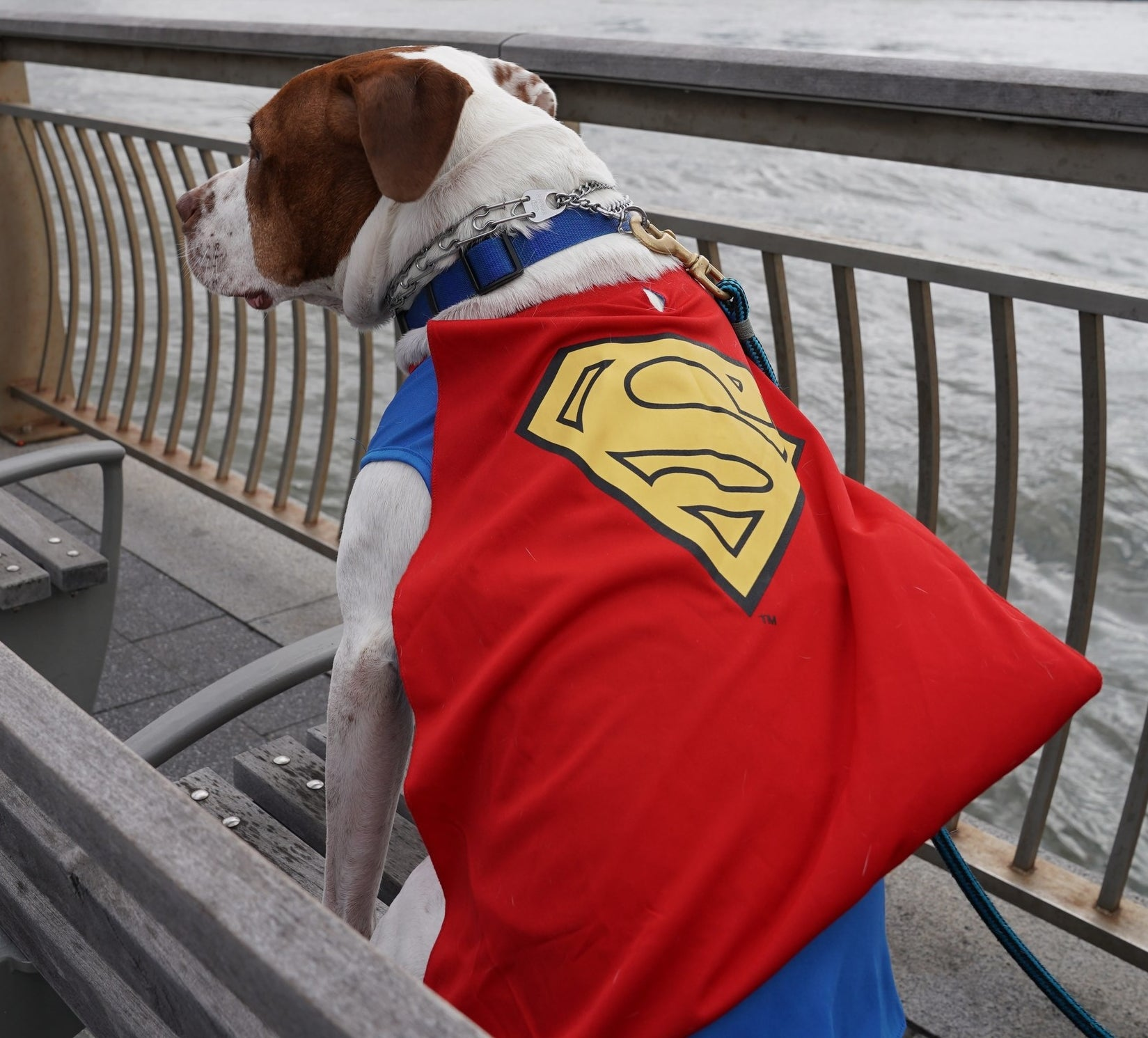 large dog wearing a sweater that resembles superman with a cape
