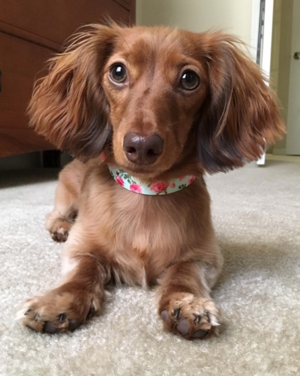 A dachshund sits with a floral print collar