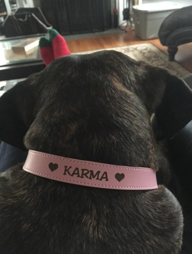 A dog wears a pink leather collar with the name KARMA written on it