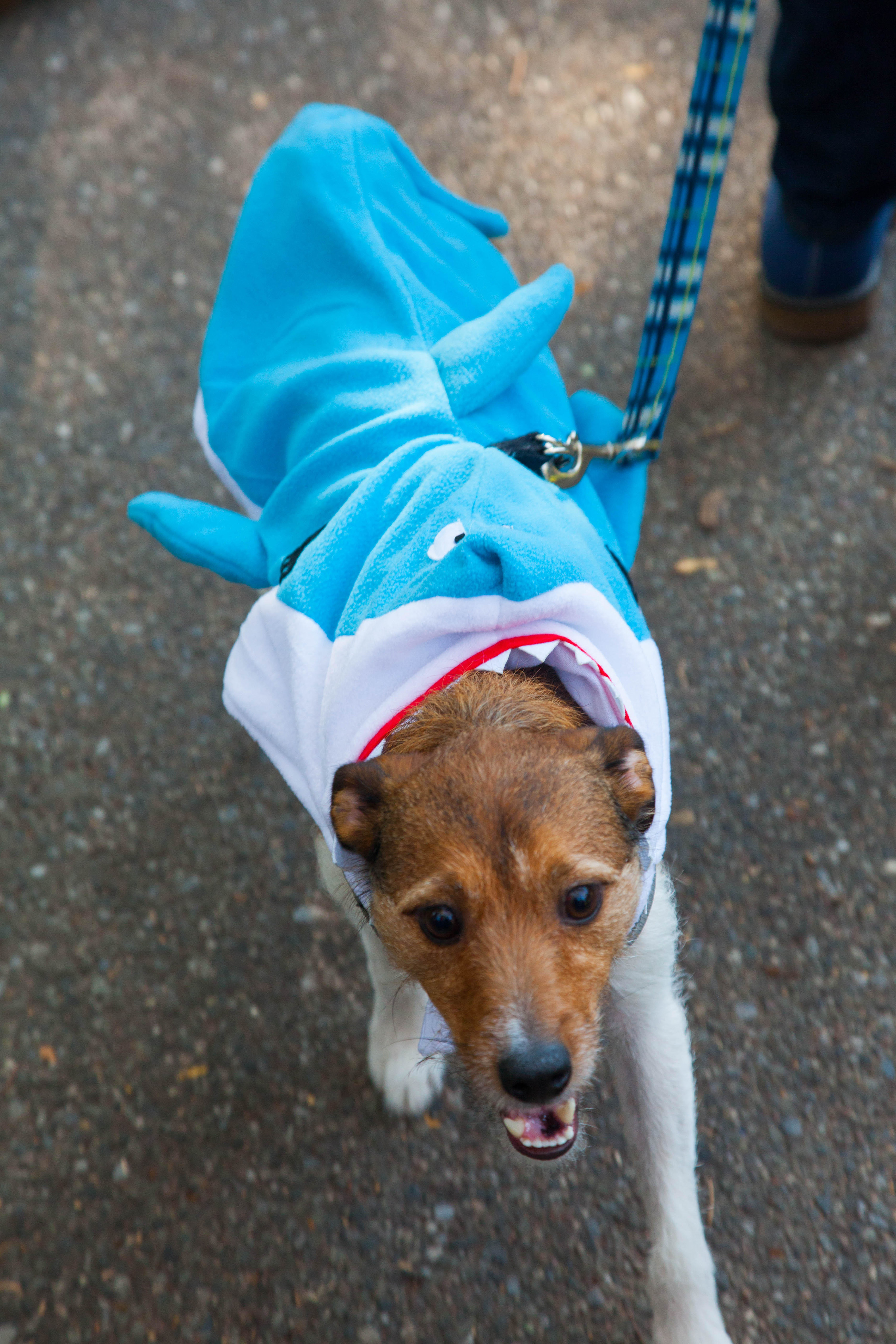 a happy dog with a sweater to resemble a shark
