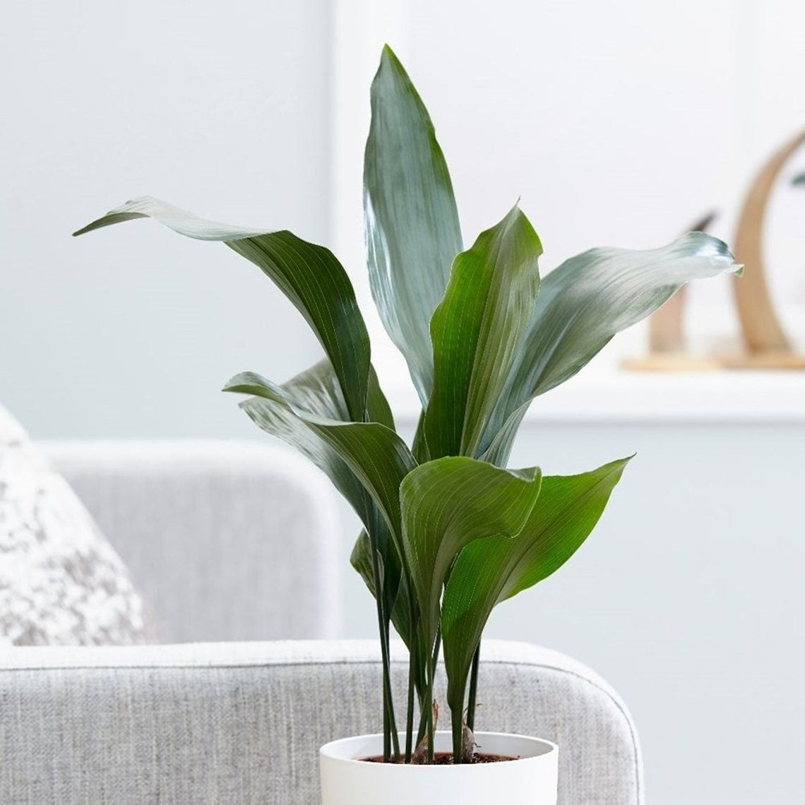 Tall potted plant with several large leaves