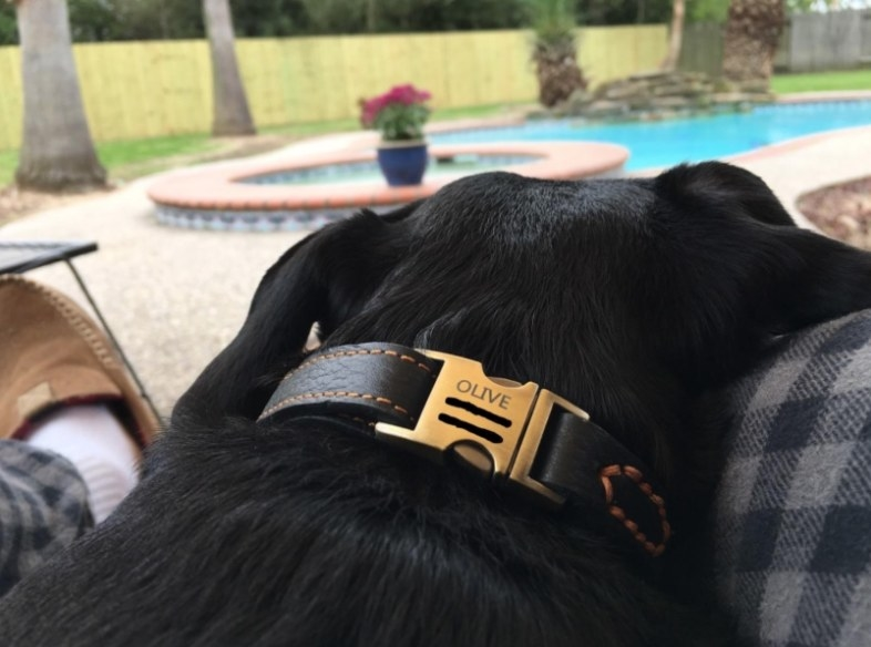 A dog lies in a leather collar with its name engraved on it